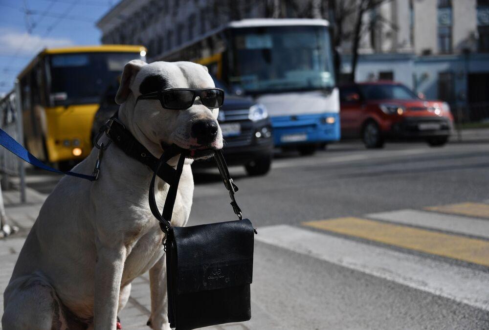 كلب يرتدي نظارة شمسية يحمل حقيبة بين أسنانه عند معبر للمشاة في سيمفيروبول، شبه جزيرة القرم الروسية، 18 مارس 2019