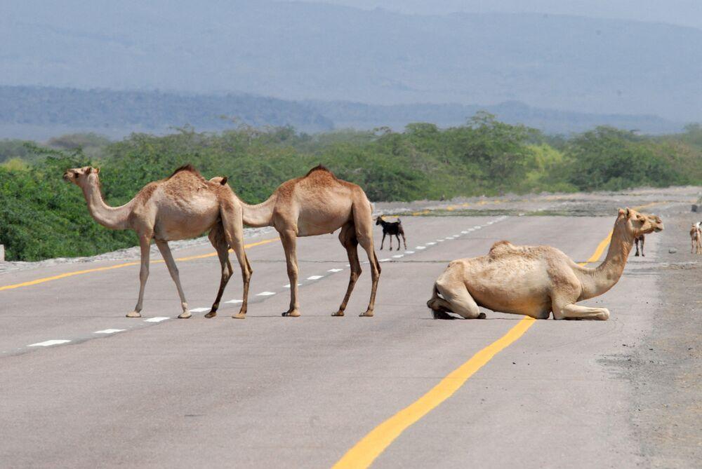 مجموعة من الجمال تستريح على الطريق العام بين محافظتي أبين وشبوة، اليمن 8 نوفمبر 2007