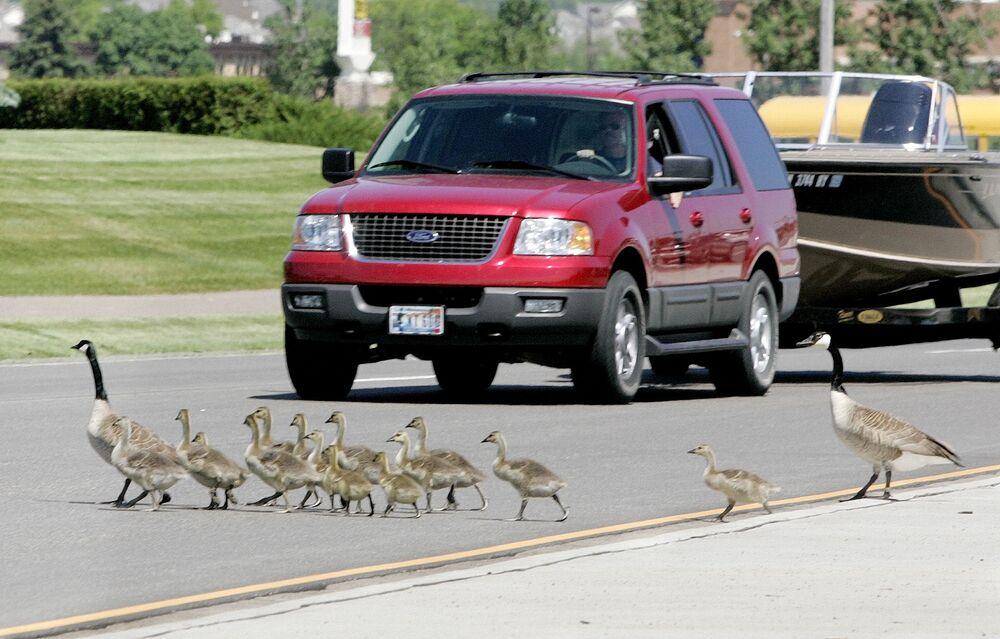 الأوز الكندي تعبر الطريق في وودبوري
