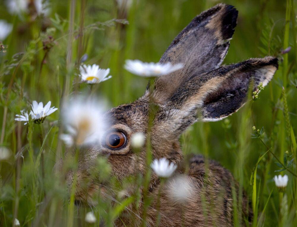 أرنب يجلس بين الأعشاب في ضواحي فرانكفورت، ألمانيا 25 مايو 2021