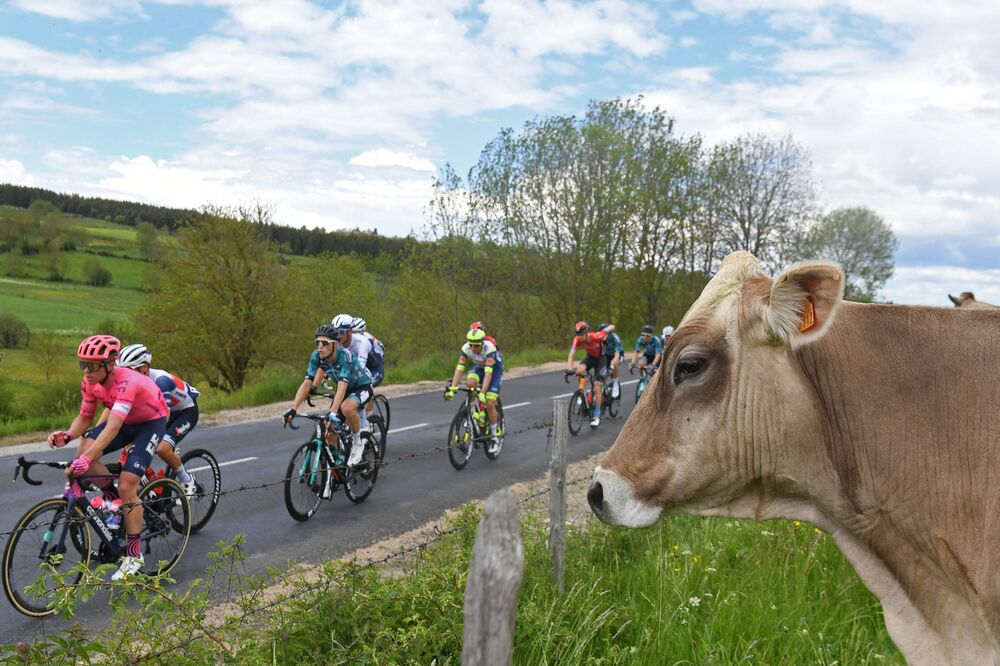 راكبو الدراجات بجوار بقرة خلال المرحلة الثانية من النسخة الثالثة والسبعين من سباق دوفين للدراجات، في فرنسا 31 مايو 2021