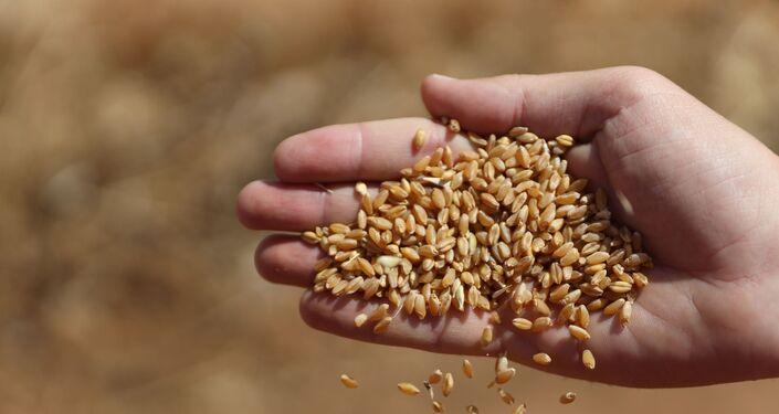 الحصاد بدأ مجددا.. هل تعود سوريا إلى تصدير القمح؟