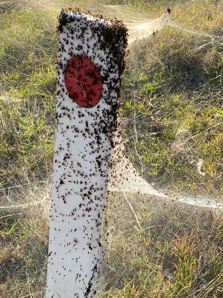 تُظهر صورة من مقطع فيديو انتشر على وسائل التواصل الاجتماعي، خيوط الـجوسامير نسجتها العناكب الحمراء والسوداء بالقرب من الأراضي الرطبة في لونغفورد، منطقة فيكتوريا، أستراليا في 14 يونيو 2021