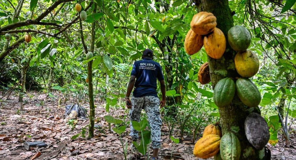 البحث عن أطفال يعملون في مزارع الكاكاو