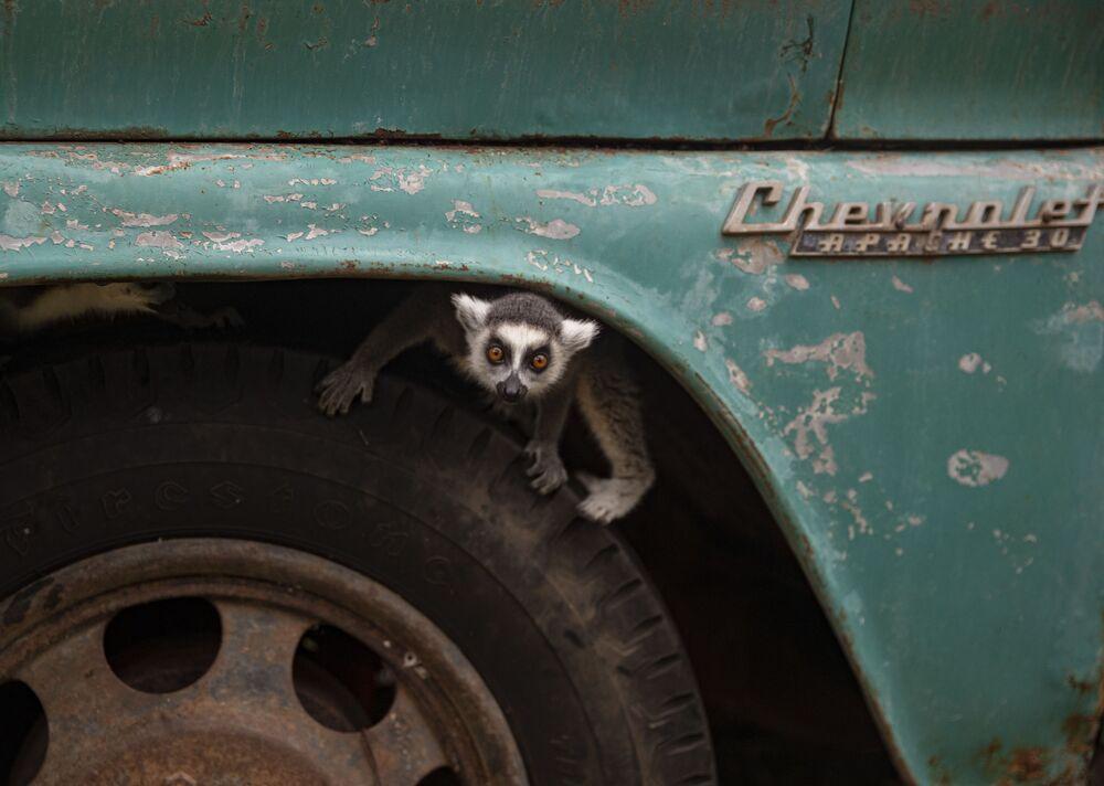 ليمور حلقي الذيل يخرج من الإطار الأمامي لشاحنة داخل حديقة حيوان بوين في سانتياغو، تشيلي، 15 يونيو 2021