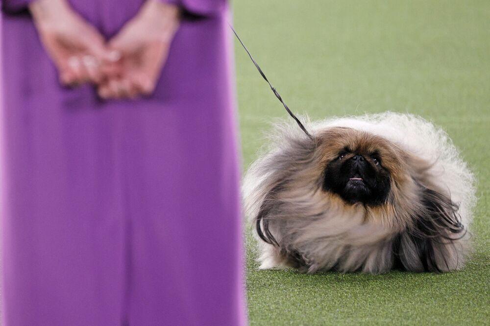 يتنافس واسابي  ذا  بيكينجيز في أفضل عرض في العرض السنوي الـ 145 نادي ويستمنستر كينيل لعرض الكلاب في تاريتاون، نيويورك، الولايات المنتدى الأمريكية في 13 يونيو 2021