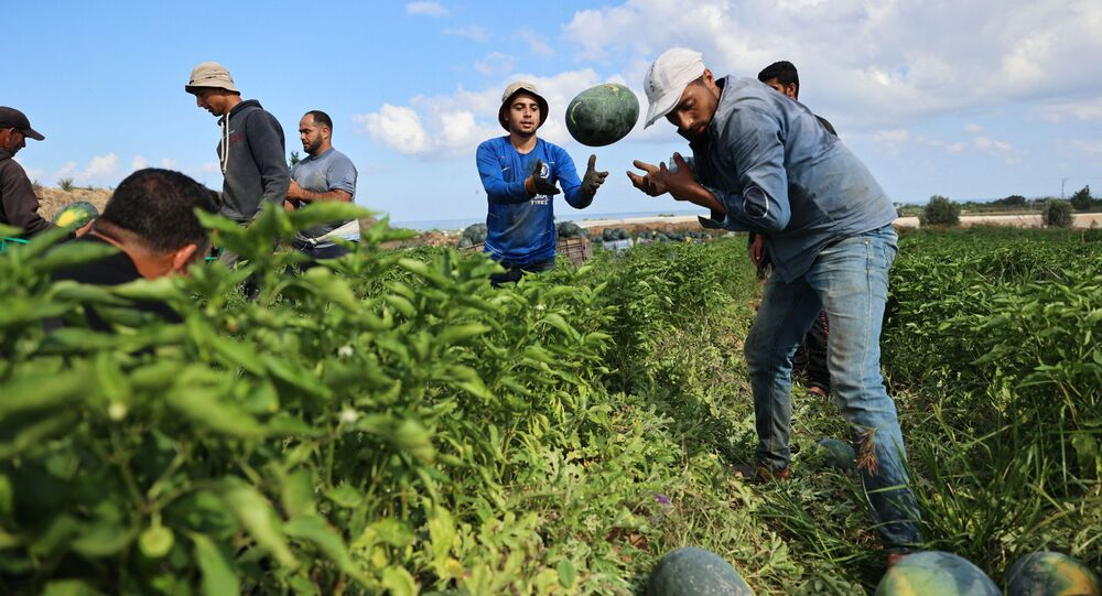 حصاد البطيخ في بيت لاهيا