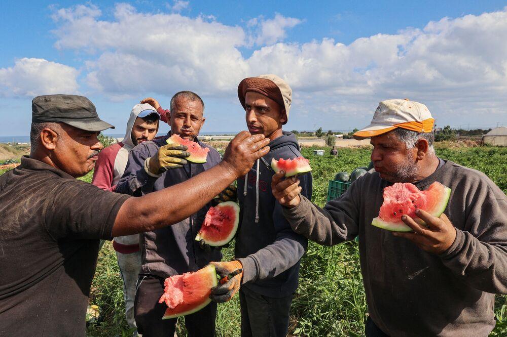 مزارعون فلسطينيون يتذوقون البطيخ في بيت لاهيا