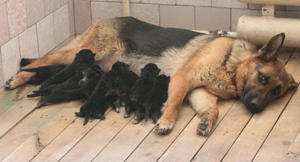 كلب من سلالة الراعي الألماني