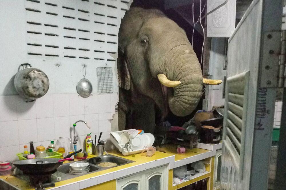 التقطت هذه الصورة في 20 يونيو 2021 وتم تلقيها بإذن من صاحبتها رادتشاداوان بيونغبراسوبورن عبر حسابها على الفيسبوك، تظهر فيلًا يبحث عن الطعام في مطبخ منزلها في با لا-أو، هوا هين، تايلاند، 19 يونيو 2021