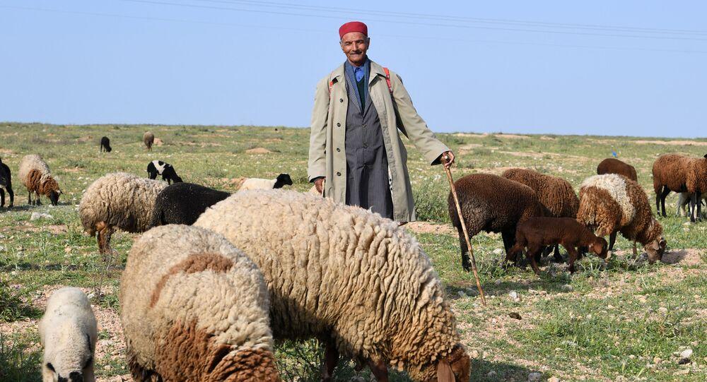 مسن تونسي يعمل في رعي الأغنام