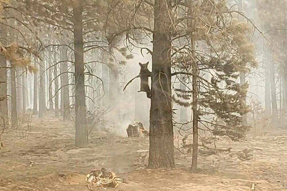 دب صغير يتشبث بغصن شجرة بعد أن رآه ضابط السلامة من فريق لحالات الطوارئ خلال الحرائق بوت ليغ في جنوب ولاية أوريغون، الدولايات المتحدة الأمريكية 18 يوليو 2021