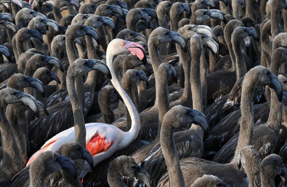 يقف فلامنغو وردي بين فراخ طيور النحام في حظيرة في إيج مورتس، بالقرب من مونبلييه، جنوب فرنسا، 3 أغسطس 2021، خلال عملية وضع العلامات والسيطرة السنوية لمراقبة تطور الأنواع.