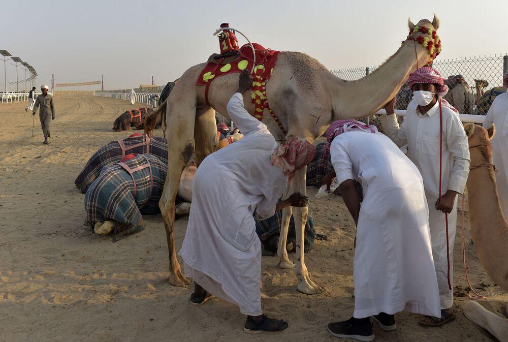 فحص الإبل قبل انطلاق المسابقة في مدينة الطائف السعودية