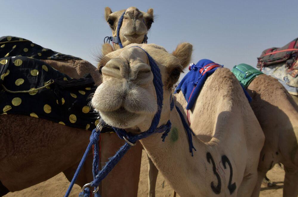 الإبل تستريح بعد المنافسة في مدينة الطائف السعودية