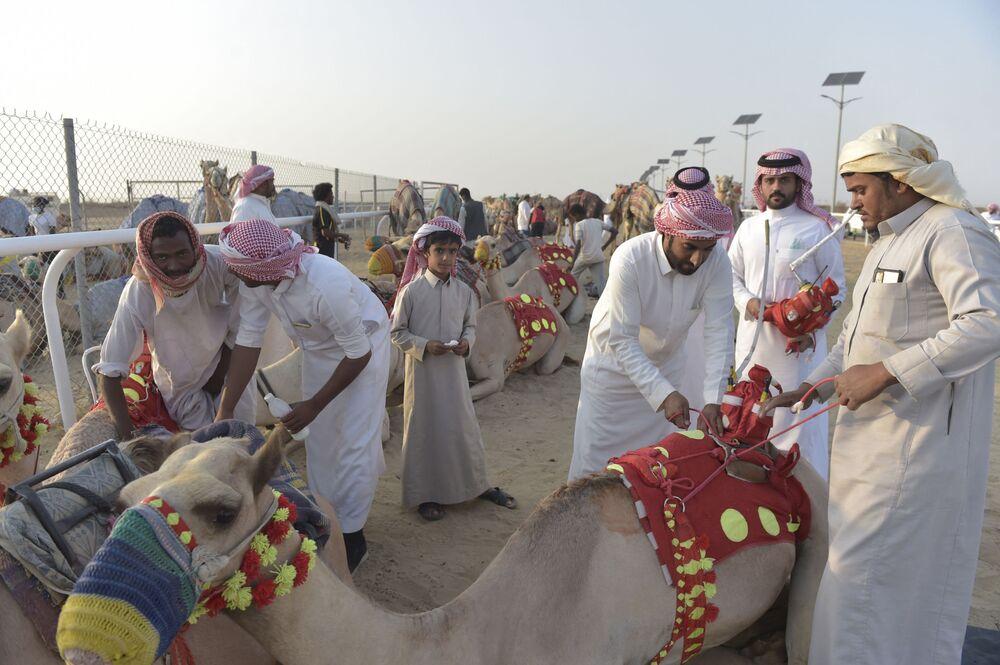 إعداد الإبل للمسابقة في مدينة الطائف السعودية