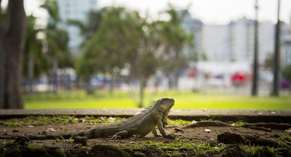 حيوان الإغوانا الزاحف