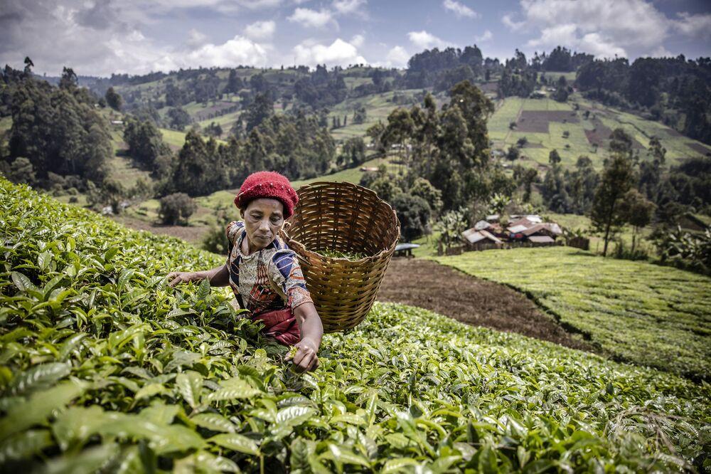 امرأة كينية تقوم بجمع أوراق الشاي في مزرعة شاي في مقاطعة ماثيويا، مورانجا، كينيا في 20 أغسطس 2021
