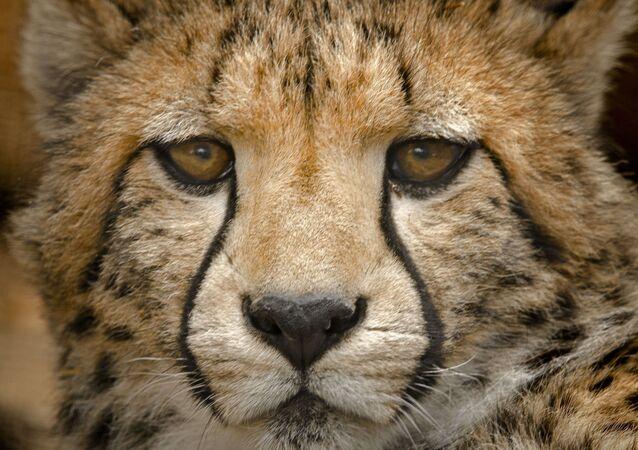 وجه الفهد الصياد
