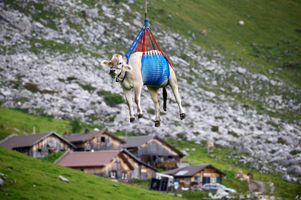 بقرة تُنقل بطائرة هليكوبتر بعد إقامتها الصيفية في مروج جبال الألب السويسرية المرتفعة بالقرب من كلاوسن باس، سويسرا، 27 أغسطس 2021