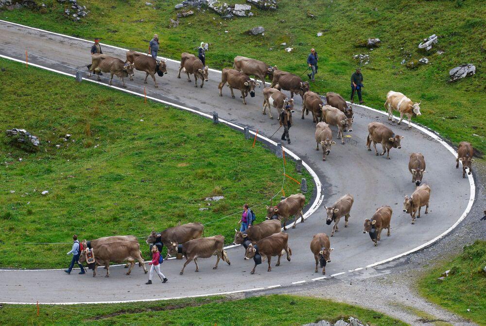 الرعاة وأبقارهم في طريقهم إلى وادي أورنيربودن في جبال الألب السويسرية بعد إقامتهم الصيفية في المروج العالية بالقرب من كلاوسن باس، سويسرا، 28 أغسطس 2021