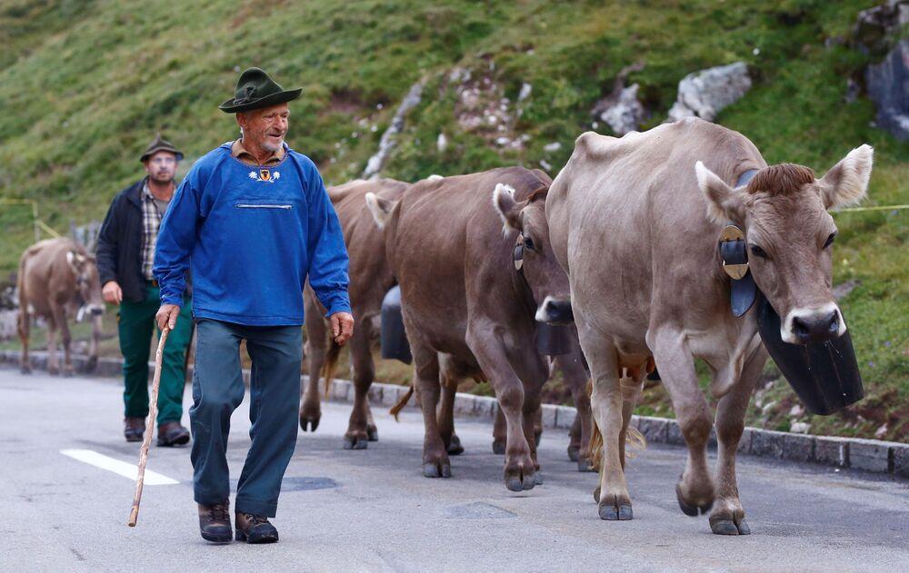 الرعاة وأبقارهم يعبرون قمة كلاوسن باس في طريقهم إلى وادي أورنيربودن في جبال الألب السويسرية بعد إقامتهم الصيفية في المروج العالية بالقرب من كلاوسن باس، سويسرا، 28 أغسطس 2021