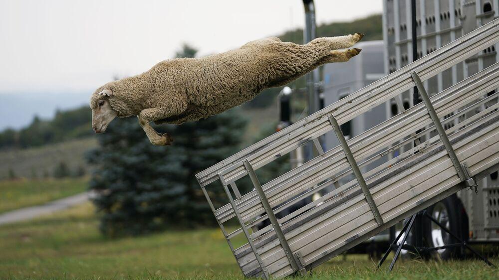 شاة تقفز من شاحنة للمشاركة في بطولة Soldier Hollow Classic Sheepdog السنوية في ميدواي، يوتا 1 سبتمبر 2021
