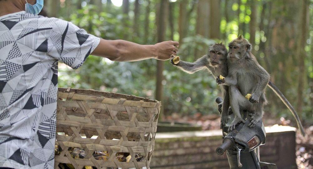 عامل يطعم قرود المكاك خلال وقت التغذية في غابة سانجه للقردة، جزيرة بالي، إندونيسيا، 1 سبتمبر/ أيلول 2021