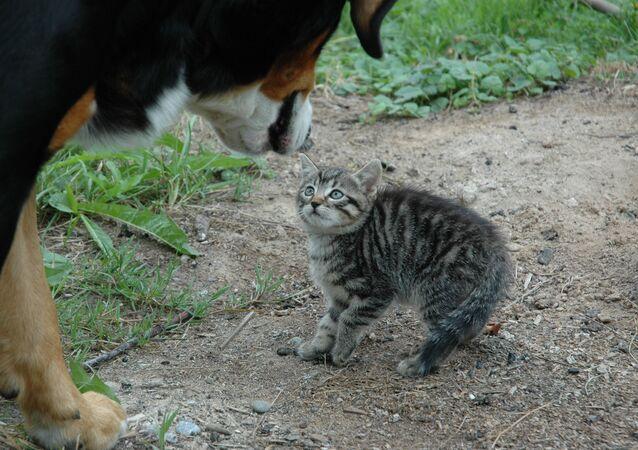 كلب كبير بمواجهة قطة صغيرة