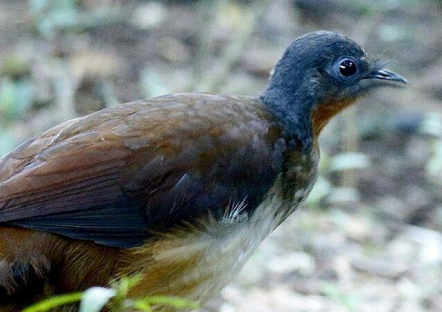 طائر القيثارة الأسترالي الشهير بقدرته على تقليد الأصوات