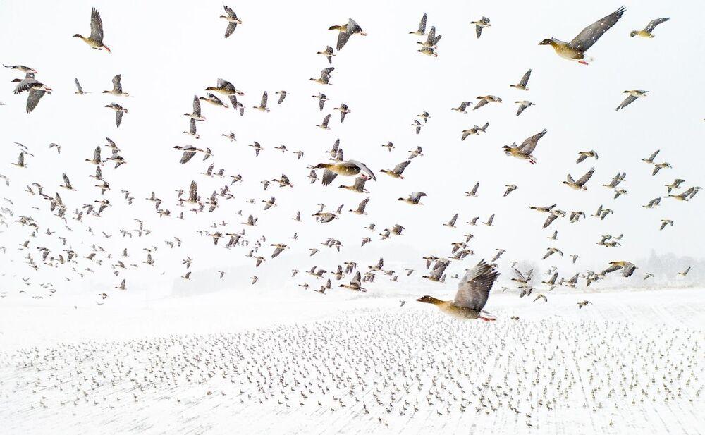 صورة بعنوان الأوز ذات الأقدام الوردية تستقبل الشتاء، للمصور تيري كولاس، الفائز بجائزة مسابقة التصوير بواسطة الدرون لعام 2021