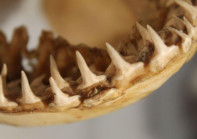 أسنان سمكة ضخمة ميتة