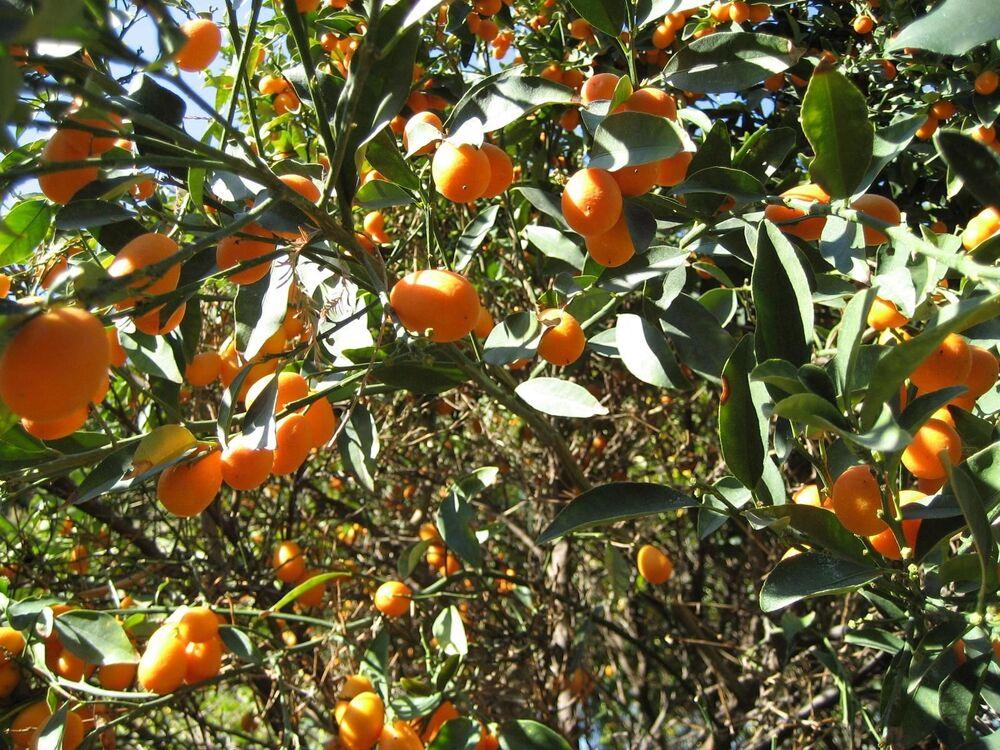 كومكفات - البرتقال الذهبي