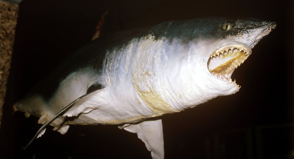 سمكة قرش