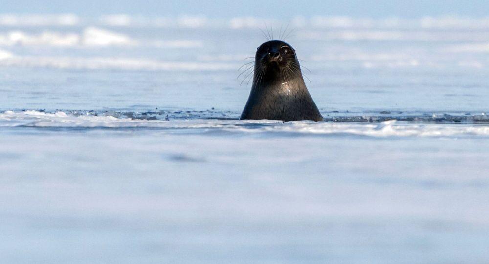 حيوان الفقمة في بحيرة بايكال