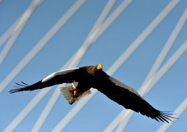 الطير الجارح عقاب البحر، ذات الرأس الأبيض، يطير فوق قرن الخليج الذهبي بفلاديفوستوك.