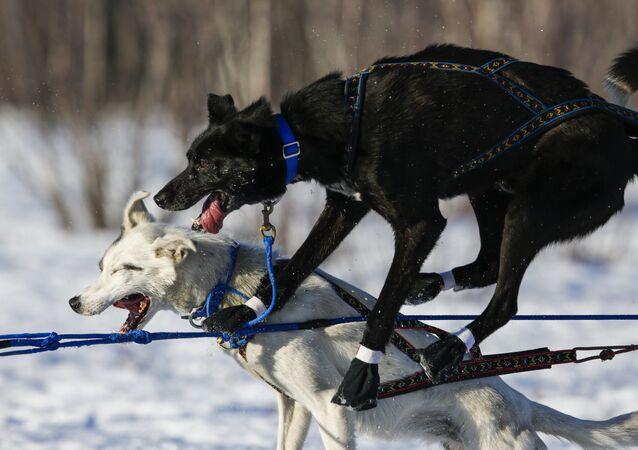 الكلاب خلال المسابقات على الثلج في ألاسكا، 6 مارس/ آذار 2016.