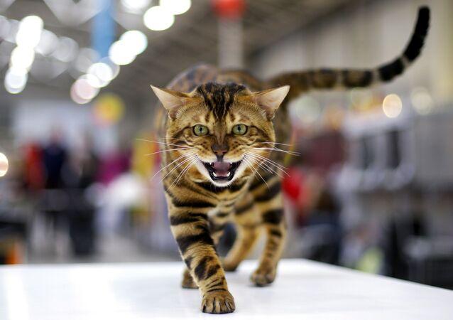قط البنغال خلال معرض القطط فائز البحر الأبيض المتوسط 2016 في روما، 3 ابريل/ نيسان 2016.