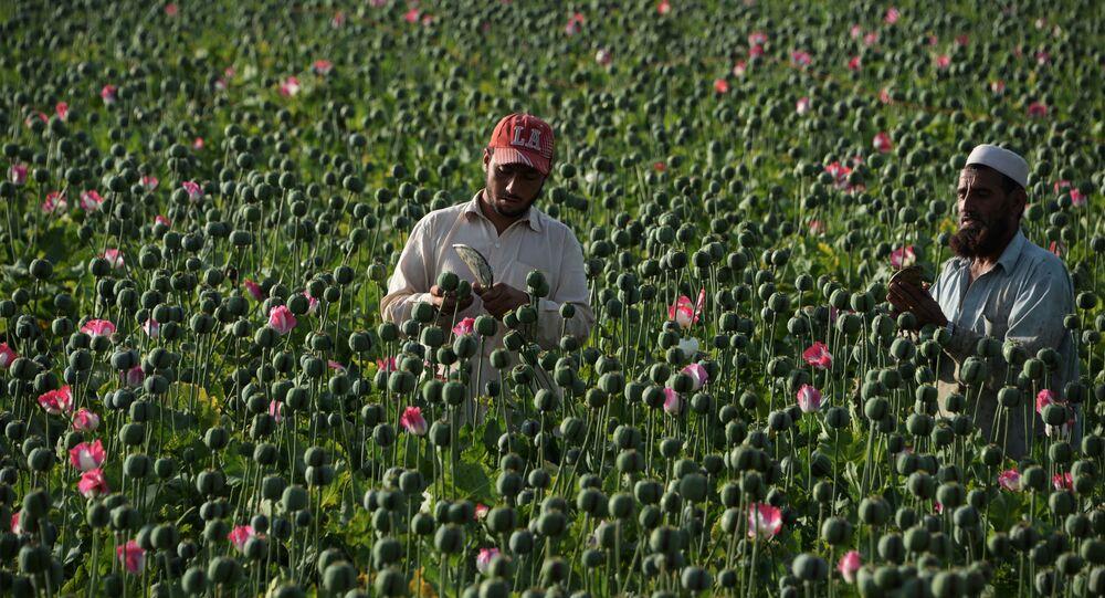 موسم حصاد نبات الخشخاش المخدر في أفغانستان، 10 أبريل/ نيسان 2016.