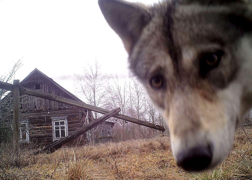 ذئب ينظر إلى الكاميرا في منطقة خالية من السكام بقرية أورفيتشي
