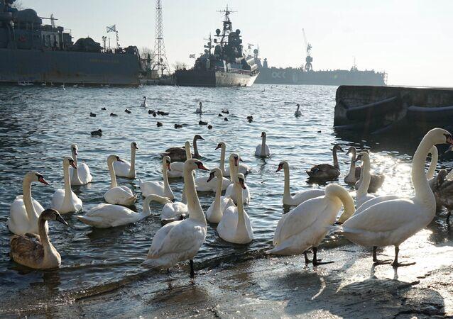 سرب من طيور البجع تقضي فصل الشتاء في المرفأ العسكري في منطقة كالينينغراد