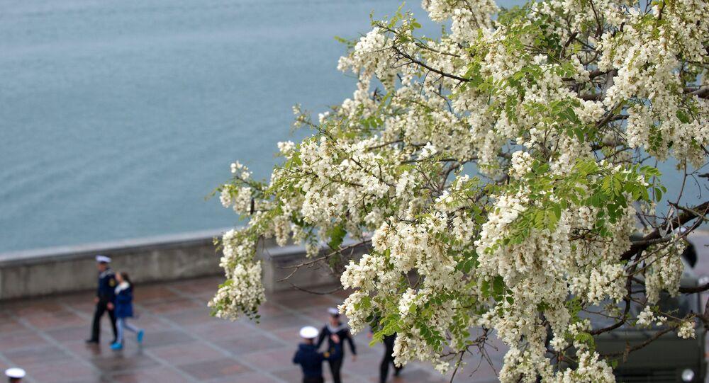 زهور الأكاتسيا على سواحل سيفاستوبل، بشبه جزيرة القرم.