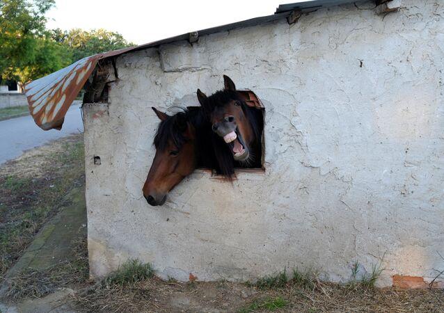 - خيول تطل من شباك الإسطبل في قرية بونتويراكليا باليونان، 27 مايو/ آيار 2016.