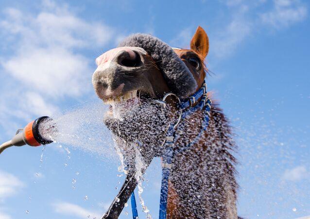 خيل تأخذ حماما بارداً بعد سباق في هامبورغ، 3 يوليو\ تموز 2016