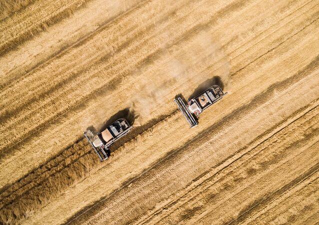 حصاد القمح في كرانودلرسكي كراي، روسيا.