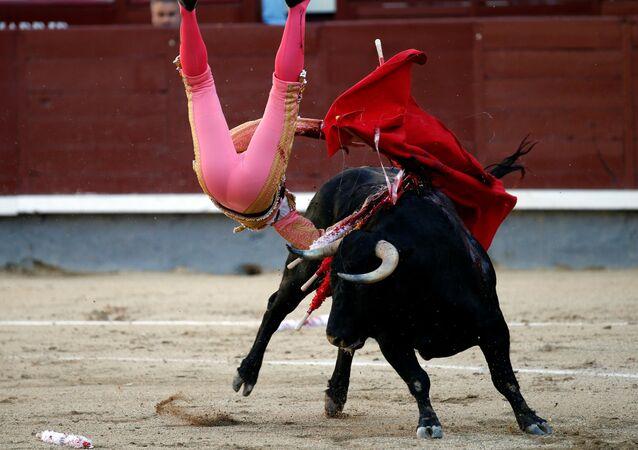 ثور يطيح بالمتادور بابلو خلال مصارعة الثيران بمدريد