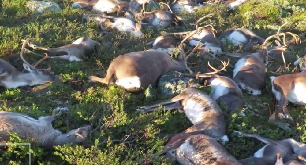 صاعقة تقتل حيوانات الرنة