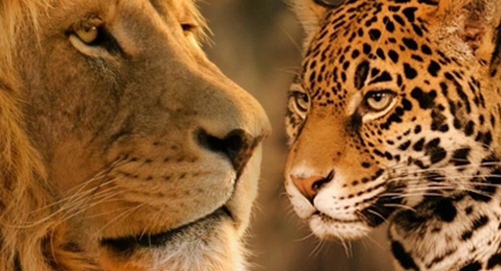 معركة حياة أو موت بين أسد ونمر