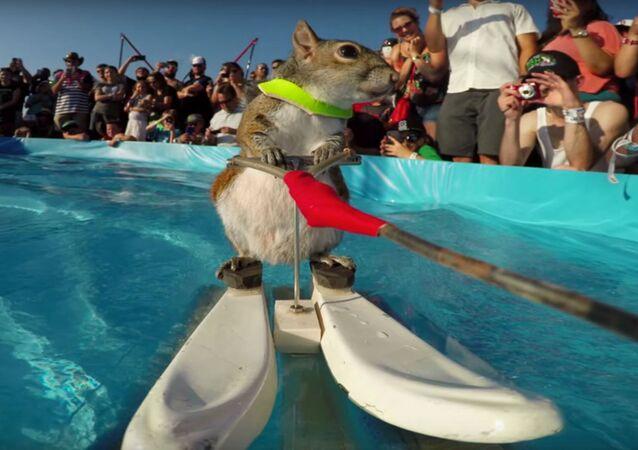 سنجاب يتزلج على الماء