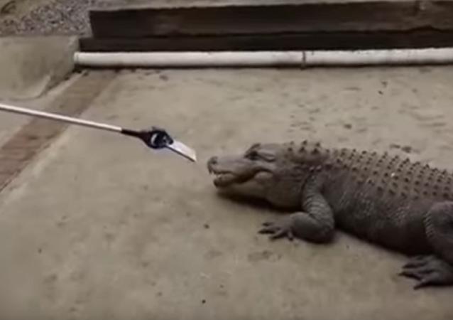 تمساح يختبر قوة جهاز أيفون 7